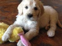 English Cream Goldendoodle puppies born 4/22/15. 1