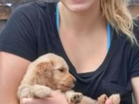 Adorable Goldendoodle puppies! I have two litters with