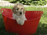Adorable Goldendoodle Puppies! F1B Our awaited litter