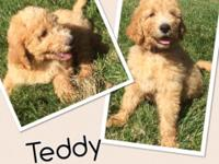 F1b Goldendoodle male puppies born on April 27,2015.