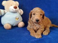 "We have a Gorgeous Litter of ""F1b"" Goldendoodle"