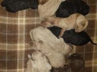 Pups born to a F1 goldendoodle mommy, who weighs 48
