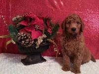 "We have a Gorgeous litter of F1b ""Red"" Goldendoodle"
