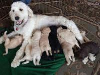 Gorgeous Goldendoodle puppies, will be around 30 to 50