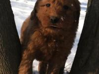 Goldendoodle puppies. Dad AKC, DNA Registered red