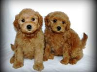 Goldendoodle Puppies for sale. I have three litters at