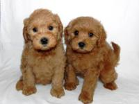 Goldendoodles-Teddy Bear Puppies-I have a new litter of