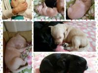 Beautiful goldendoodle puppies born on April 8th should