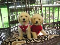 BEAUTIFUL little teddy bear puppies ready to be