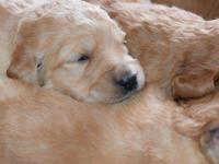 Our dear Honey has a beautiful litter of 8 goldendoodle