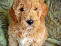 Beautiful and ethically-raised Goldendoodle puppies due