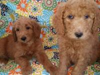 Adorable F1b Goldendoodle Puppies Reds / Apricot