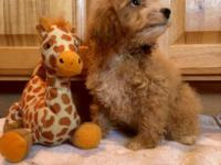 Beautiful f1b Goldendoodle Puppies crossed over on a