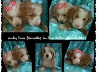 We have adorable miniature Goldendoodle f1b puppies