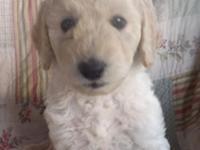 Goldendoodle Puppies ... F1 and F1b's. These dogs will