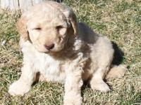 F1 Goldendoodle Puppies born and Ready for furever
