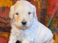 These adorable F1 Goldendoodle puppies are