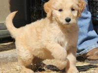 Goldendoodle puppies born August 19th. Shots, wormed,
