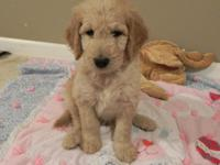 Goldendoodle puppies born July 9th! 4 gold/cream boys
