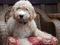 Absolutely adorable male standard Goldendoodle with a
