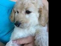 GOLDENDOODLE MALE, F1b, will certainly be around 30 to