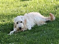 Goldendoodle puppy. 1st generation. Born on October 7,