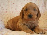 GORGEOUS F1B MALE GOLDENDOODLE PUPPY BORN