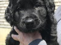 Atticus is one of a litter of 6. He is 6 weeks old and