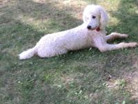English Goldendoodles are the best choice for customers