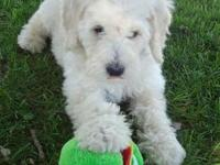 Beautiful F1B Goldendoodle Puppies will be Mini size