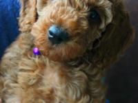 Beautiful red F1b miniature goldendoodle! Sweet