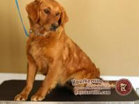 ***TWO LEFT*** Ali is a registered AKC Retriever and