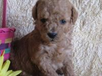 Star is an adorable mini size goldendoodle girl. Her