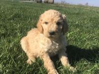 Patrick is a fun loving F1b Goldendoodle. He has a soft