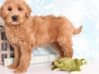Bonnie is a really adorable F1B Goldendoodle puppy. She