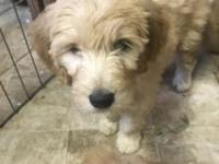Beautiful F1 goldendoodle puppy for her forever home.