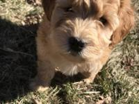 Beautiful F1 goldendoodle puppy for his forever home.