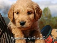 Libby our F1 English Teddybear Goldendoodle has a
