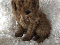 These are very fluffy and beautiful Mini Goldendoodle