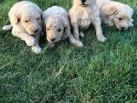 F1b Golden-doodles males/females ready for their