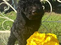Blue Goldendoodle F1b she have a small umbilical