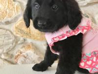 Alocasia is a rare Goldendoodle beautiful shine black