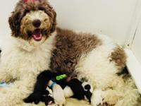 Miss Red is an F1b Goldendoodle chocolate and cream