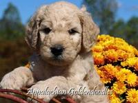 Charlie Our F1 English Teddybear Goldendoodle has a