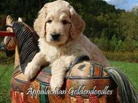 Maggie Our F1 English Teddybear Goldendoodle has a