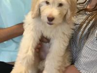 Breezy is a beautiful apricot goldendoodle puppy. She's
