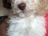 Abby is a beautiful apricot goldendoodle puppy. She's