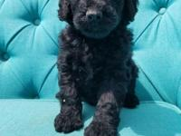 Beautiful f1b goldendoodle puppy. Will come with