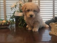 Beautiful Mini Goldendoodle puppy. 25-30lbs full grown.