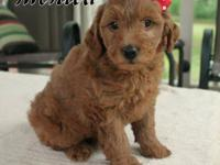 Beautiful F2b Goldendoodle. Guessing 22-35 pounds appr.